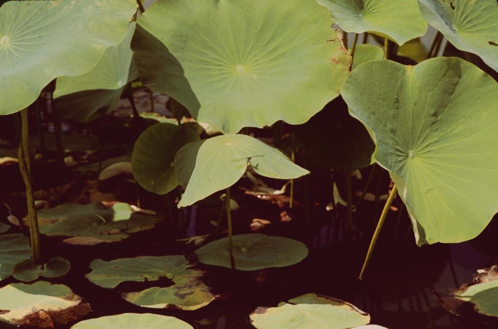 蜻蜓與蓮葉